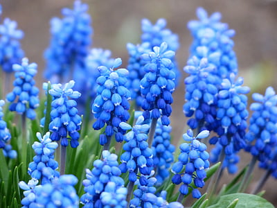 blue grapes hyacinth flower
