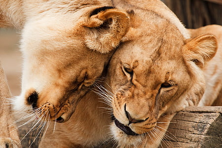 two brown lionesses
