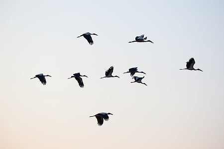 flock of ibis birds