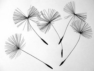 five black dandelion flowers