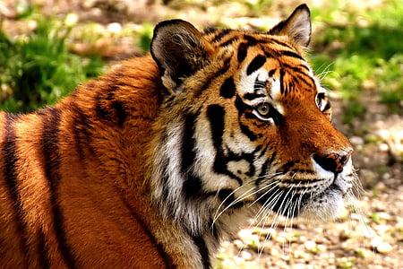 closeup photo of tiger