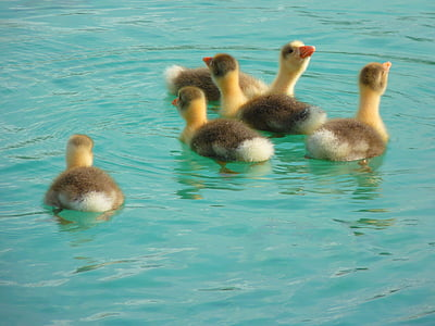 ducklings swimming on water