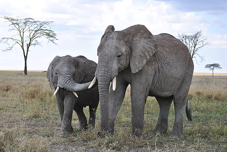 two gray elephants