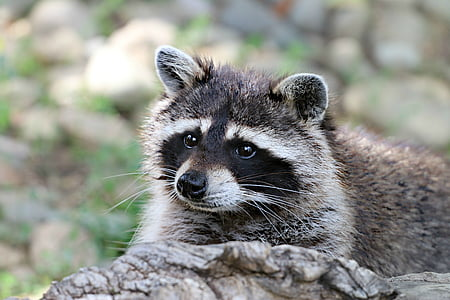closed up photography of raccoon on trunk