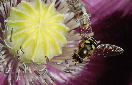 hoverfly perched on white and yellow petaled flower closeup photography