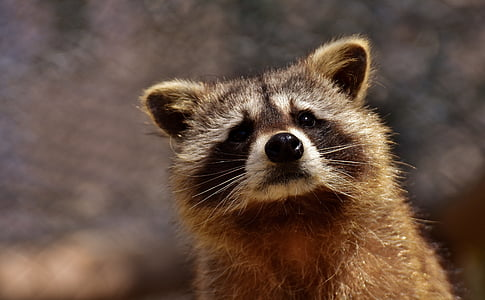 closeup photo of brown raccoon