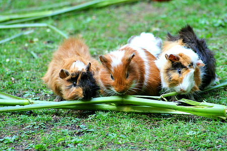 three guinea pigs eating green plant branch