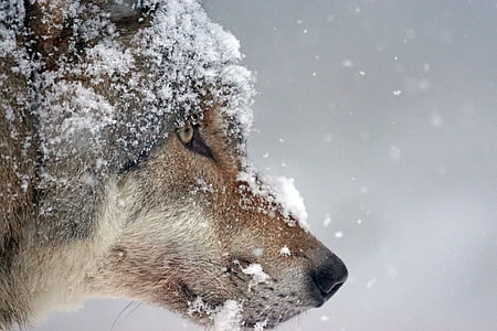 close-up of a wolf's face covered in snow