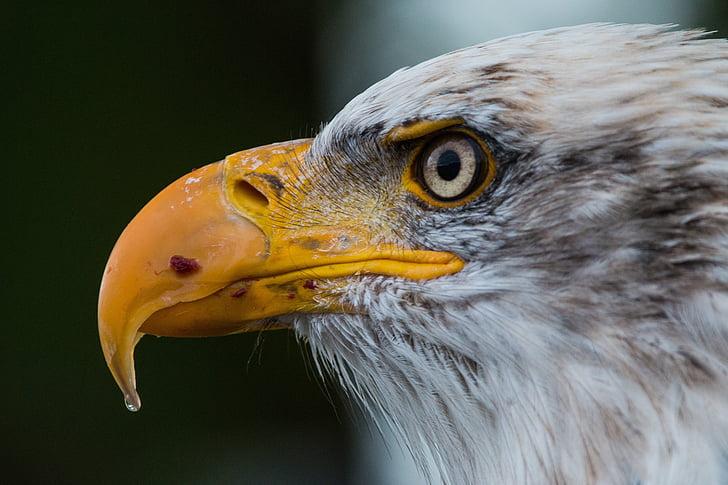 close up photograph of eagle
