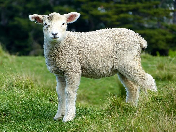 lamb on lawn