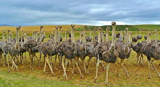flock of ostrich