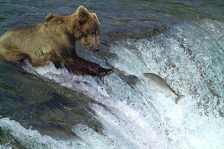 grizzly bear hunting salmon fishes on water
