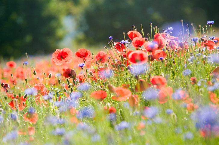 bed of red poppy flowers