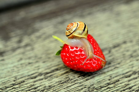 brown snail on strawberry