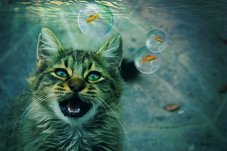 gray tabby cat and fish underwater