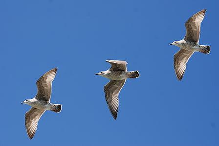 three grey gulls flying at daytime