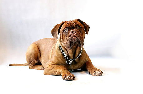 short-coated brown dog with chain necklace on the floor