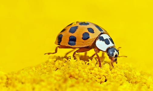 orange and black weevil on yellow flower