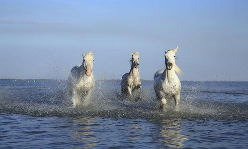 three white horses running on body of water