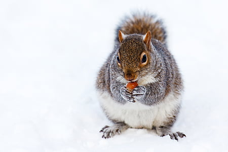 gray and white squirrel