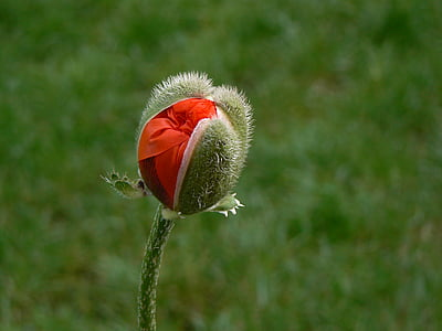 selective focus photography of red poppy flower bud