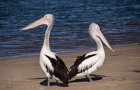 two black-and-white pelicans on sea shore