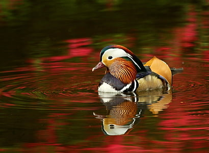 Mandarin duck on pond