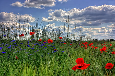 red-and-blue flower field