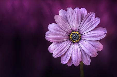 purple osteospermum flower in close up photography