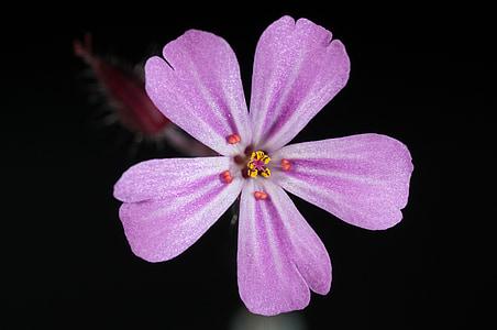 pink 5-petaled flower closeup photo