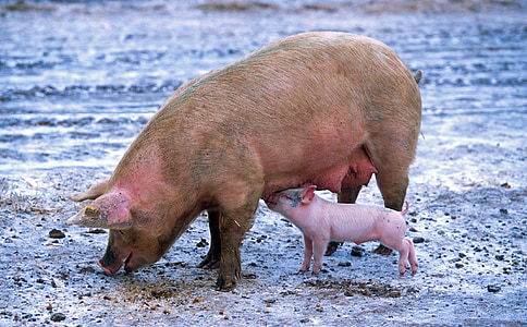 close up photograph of pig with baby pig