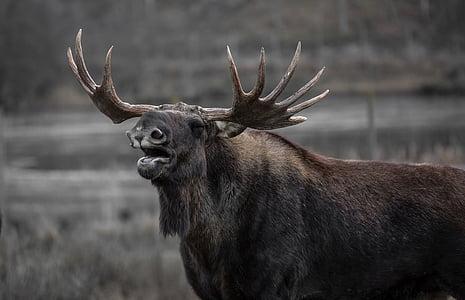 gray Moose during daytime