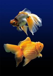 two orange goldfish