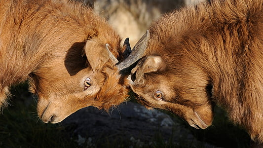 closeup photo of brown horned animals