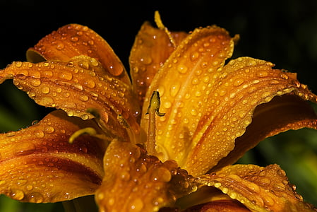 closeup photo of yellow peruvian lily flower