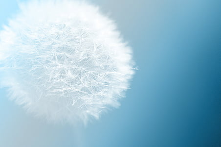 micro photography of dandelion