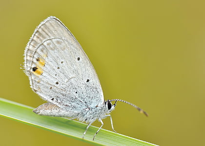 female Common Blue butterfly perched on green leaf closeup photography