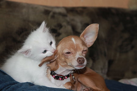 adult smooth tan Chihuahua with white kitten