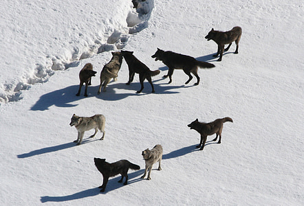 nine wolves on snow