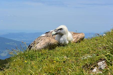 vulture on green grass