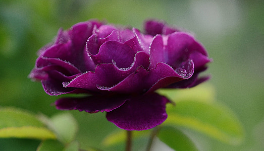selective focus photo of purple camellia flower with water droplets