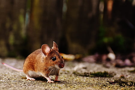 brown mouse on land
