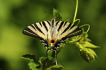 Tiger swallowtail butterfly on green leaf plant