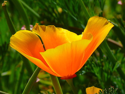 orange California poppy flower