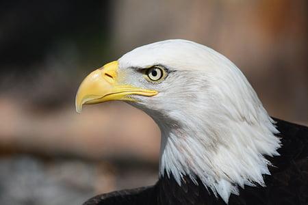 white and black bald eagle