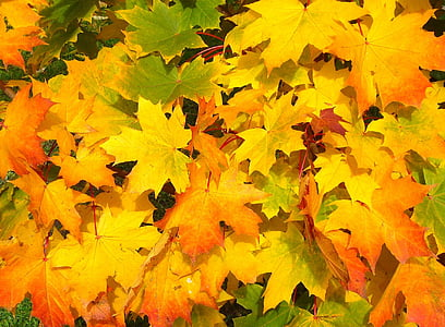 yellow, green, and orange maple leaves