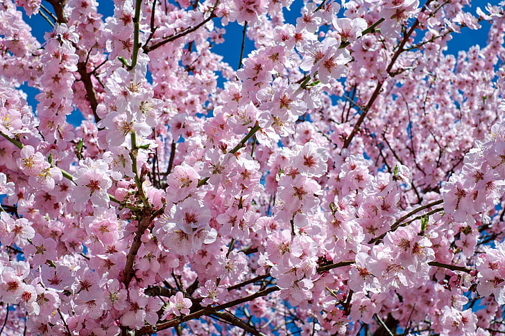 pink and black sakura tree