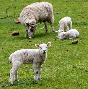 herd of sheep during daytime