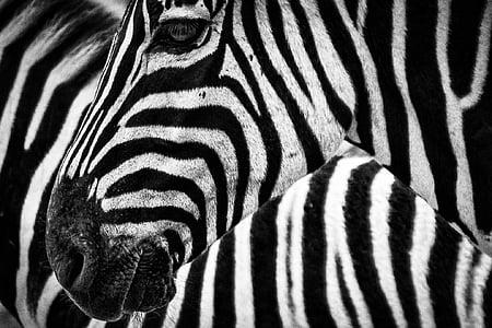 closeup photo of zebra