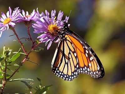 monarch butterfly perched on purple flower